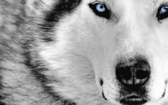 HD Grey Wolf Wallpapers Download Wallpapers in HD for your