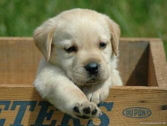 Labrador Retriever puppy photo and wallpaper Beautiful Cute Labrador