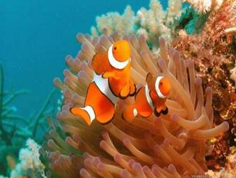 Wallpapers For Download Clown Fish Fish Wallpapers Clownfish Clown